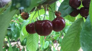 China Big Fresh Cherry